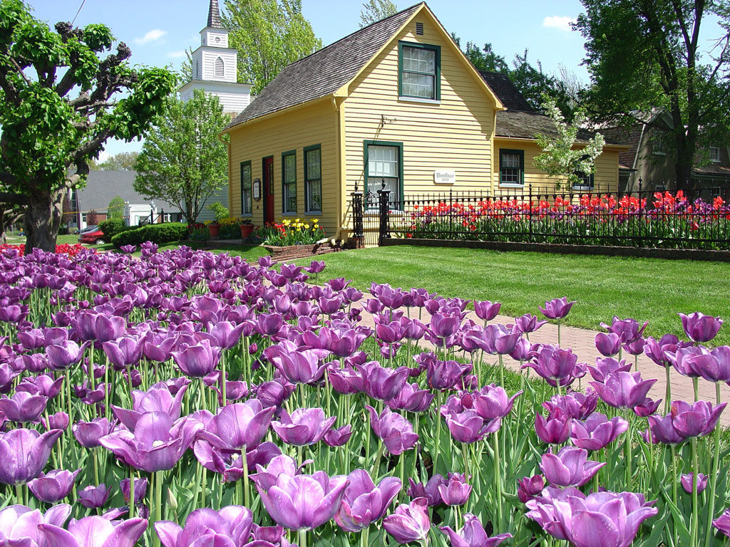 Purple tulips growing in front of a yellow house in Pella's historical village.